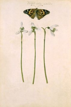 Snowdrops and Painted Lady Butterfly, by Jacques Le Moyne de Morgues