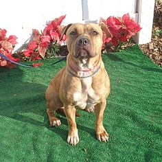 Pictures of BELLA a Pit Bull Terrier for adoption in Marietta, GA who needs a loving home.