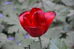 Tulppaani hämärtyvässä illassa | Vesan viherpiperryskuvat – puutarha kukkii