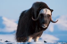 After braving treacherous Alaskan weather to get close to a herd of musk oxen, Florian Schulz takes a photo of a lifetime. A musk ox faces the camera in the Arctic