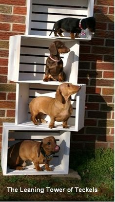 The Leaning Tower of Dachshunds. Or (Teckel). These are all our pets. Suri on the top and Scooby on the bottom are my daughters while the two in the middle are mine. Bella and Coco. It took 3 adults to supervise and get the photo. Doxies dogs puppies dachshunds