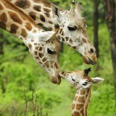 Family giraffe