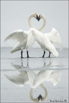 trumpeter swans in mating dance