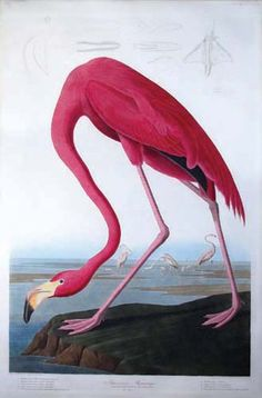John James Audubon - Flamingo (Plate CCCCXXXI)