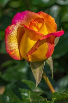 Beautiful Flowers Wallpapers, Beautiful Flowers Garden, Exotic Flowers, Amazing Flowers, Beautiful Roses, Pretty Flowers, Orchid Flowers, Flower Images, Flower Pictures