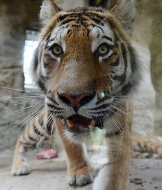 A beautiful Siberian tiger gets up close and personal withthe camera in his enclosure at the zoo in Gelsenkirchen, Germany.