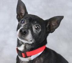Meet Baby, a 10 yr old male Chihuahua, Short Coat / Mix available for adoption in LOUISVILLE, KY. **SENIOR ALERT** Stray: I spent some time on the road, but a kind person took me to the Kentucky Humane Society. I'm finished with my rambling ways and am ready to find a loving home. Appears to play best w/ children of all ages. http://www.petango.com/Adopt/Dog-Chihuahua-Short-Coat-23723043