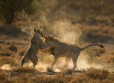 Fight the Dust by JacoMarx #animals #animal #pet #pets #animales #animallovers #photooftheday #amazing #picoftheday