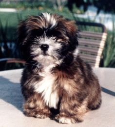 shih tzu puppies | Shih Tzu Puppy PIctures