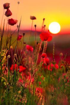 Sunset in a poppy field--France