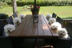 What's for dinner? Nothing cuter than Bichons....little clowns.