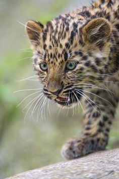 Walking cute leopard cub