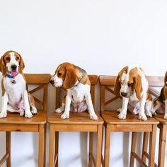 Eliminate Over 30 Common Behavioral Beagle Issues - Beagle #beagle
