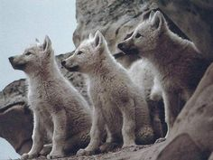 baby wolves.