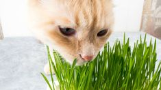 Why Do Cats Eat Grass? Scientists Might Have Figured It Out Popular House Plants, Cat Grass, Outdoor Cats, Cat Feeding, Might Have, Figure It Out, Pet Store, Cat Lady, Cute Cats