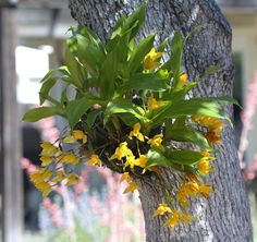 Lycaste aromatica plant-800.jpg