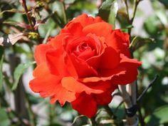 Rosa 'Kordes Brillant'