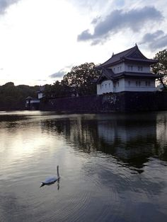 [Town] Swan in the moatof Japan's Imperial Palace  皇居のお堀と白鳥