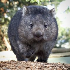 Our beloved Tina wombat, putting her best paw forward! Animals Of The World, Animals And Pets, Baby Animals, Funny Animals, Cute Animals, Reptiles, Mammals, Cute Wombat, Tasmania