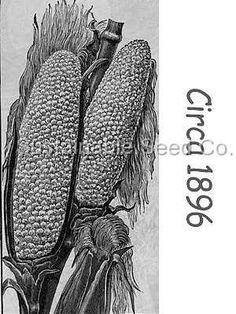 Country Gentleman heirloom bulk wholesale Corn Seed - Sustainable Seed Co.