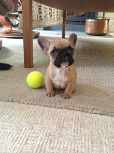 French Bulldog puppies are so cute! And his ball is too big for him! Cute Little Puppies, Cute Puppies, Cute Dogs, Dogs And Puppies, Doggies, Baby Dogs, Animals And Pets, Baby Animals, Funny Animals