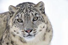 Snow Leopard by Josef Gelernter