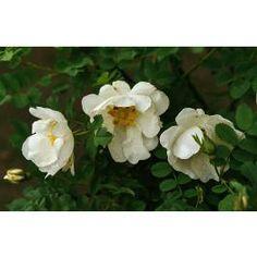 ROSA PIMPINELLIFOLIA 'ALTAICA' Stora, enkla vita blommor och purpurfärgade nypon. Doftar fruktigt. Uppkallad efter altaibergen i Sibirien där den hittades på tidigt 1800 tal på gränsen mellan Siberian och Mongoliet. Altaica är liksom många pimpineller tidigblommande. Den är mycket härdig, anspråklös och lättodlad. Kallas också för stor pimpinellros. Ger fina nypon på hösten.Doftar fruktigt. Uppk... Sone 8
