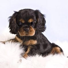 ♥ Beautiful black and tan Cavalier King Charles Spaniel puppy