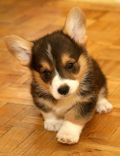 It's a Cake-Walk; Just Put One Foot in Front of the Other   Brom, an adorable Pembroke Welsh Corgi puppy, via Flickr - Photo Sharing! by Bran (Branimal!)