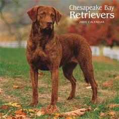 I'd be okay with our next dog being a Chesapeake Bay Retriever :)