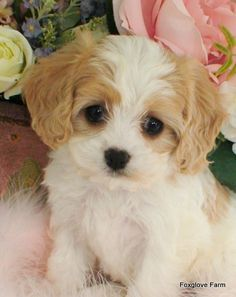 Cavachon breed. Mix of Cavalier King Charles Spanies and Bichon.