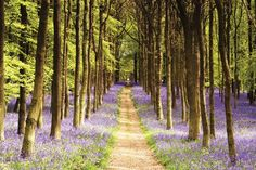 Woodland Path Landscape Purple Maxi Poster X Forest Trees Beautiful Deco Panel, Lavender Decor, Blue Bell Flowers, Wall Art Prints, Poster Prints, Wall Mural, Wall Collage, Maldives Beach, Country Landscaping
