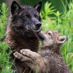 Wolf and pup Beautiful Wolves, Animals Beautiful, Beautiful Dogs, Wolf Spirit, Spirit Animal, Baby Wolves, Red Wolves, Baby Animals, Cute Animals