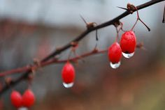 red berries by Tim Hauser - berries Click on the image to enlarge.
