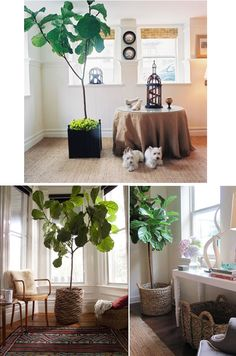 Great article on over-sized indoor trees by Good Bones Great Pieces.