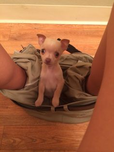 My chihuahua sits in my pants while I use the potty