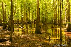 Congaree, South Carolina // Old hardwood forest in a floodplain. Basically the shire.