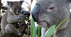 Coalas em um zoológico de Sidney, Austrália.   Fotografia: David Gray/EFE/Reuters.