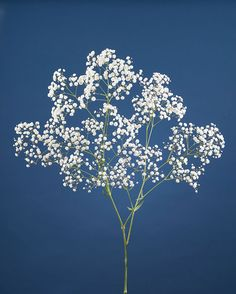 Baby's Breath Clusters of small white blooms which are most often used as a filler flower in rose arrangements. Baby's breath is also known as gypsophilia. Gypsophila Tattoo, Gypsophila Flower, Cut Flowers, White Flowers, Beautiful Flowers, Baby Breath Tattoo, Baby's Breath Plant, Flower Catalogs, Ella Enchanted