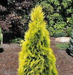 Thuja occidentalis ' Jantar ' PP#22296 Golden Emerald Arborvitae
