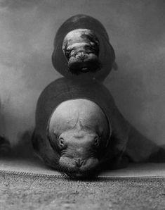 Walross-Mutter mit ihrem Jungen 1930 in ihrem Becken des Zoologischen Gartens von Berlin.