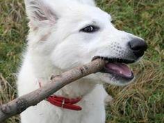 szczenięta- Owczarek Niemiecki Biały Długowłosy « Owczarek niemiecki « Psy « Ogłoszenia :: Zoomia pl pl