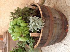 Herb garden in wine/whiskey barrel