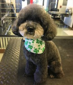 Toy Poodle Teddy Bear Style By Alayna Kay  #alaynakaygrooming
