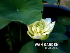 Chuehuang Lotus Yellow 7 | Nelumbo nucifera or Sacred Lotus … | Flickr Nelumbo Nucifera, Sacred Lotus, Yellow, Rose, Flowers, Plants, Pink, Plant, Roses