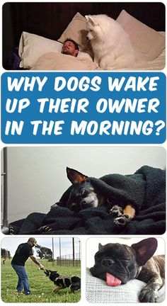 "A dog can be like an alarm clock with no ""snooze"" button. Find out the most common reasons why dogs wake their owners up in the morning. Beautiful Dog Pictures, Beautiful Dogs, Zoo Animals, Cute Baby Animals, Dog Rooms, Getting A Puppy, Dog Birthday, Dog Quotes, Dog Names"