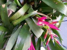 Queen's Tears, a very easy care #Bromeliad #HousePlant. www.HousePlant411