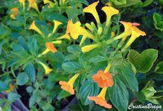O Streptosolen jamesonii e um arbusto escandente, pertence à família Solanaceae, nativa da Colômbia, Equador e Peru, perene, semi-lenhoso,…