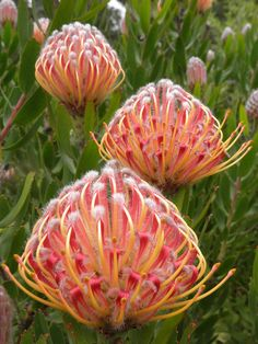 Leucospermum & Ribbon& - Nadelkissen Protea Nadelkissen-Protea (Leucospermum) & Ribbon& wächst in unserem Garten.theblinkwater … Leucospermum 'Scarlet Ribbon' – Pincushion Protea Source by theblinkwater Unusual Flowers, Unusual Plants, Rare Flowers, Exotic Plants, Amazing Flowers, Beautiful Flowers, Lilies Flowers, Purple Flowers, Spring Flowers