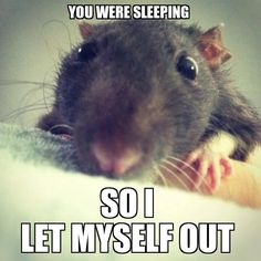 "This happened to me while I was sleeping one night and I woke up with my rat right in front of my face, and at first I was like ""Oh hi Buddy"" then I was like ""Wait? what are you doing out of your cage?"" XDDD I need rats again. Animals And Pets, Baby Animals, Funny Animals, Cute Animals, Small Animals, Funny Rats, Cute Rats, It's Funny, Animal Pictures"